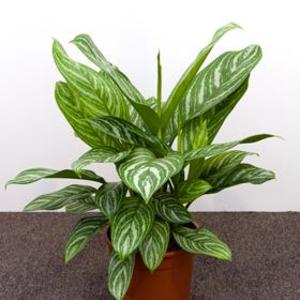aglaonema-stripes