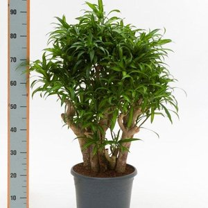 dracena-song-of-jamaica-85cm-32287