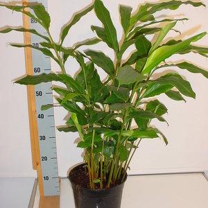 elettaria-cardamomum-(amomum)-pot-24-95-cm-29489