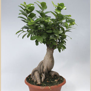 ficus-microcarpa-bonsai-21007