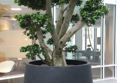 ficus-microcarpa-bonsai(1)