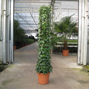 hedera-montgommery-34-180cm-32884