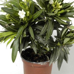 nerium-oleander-21020