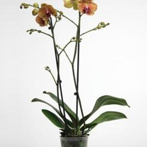 orkid-orange