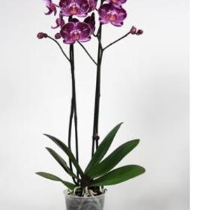 orkid-purple