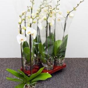 orkid-white-grandiflora
