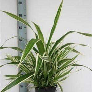 pandanus-veitchii-19cm-70-75cm-29492
