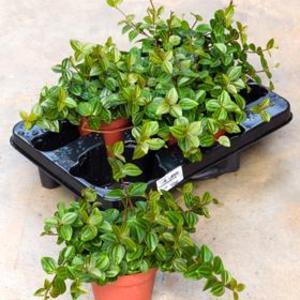 peperomia-angulata