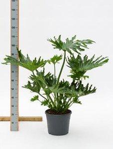 philodendron-selloum-80cm