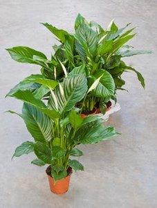 spatiphyllum-alfetta-21032