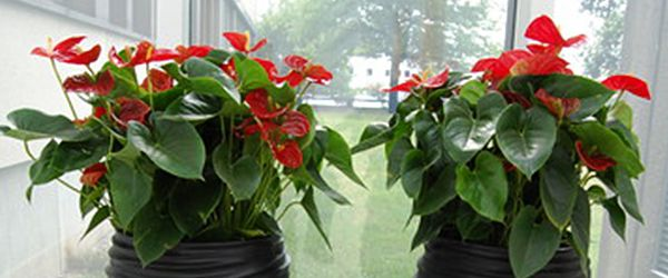 Hyr eller köp kontorsväxter